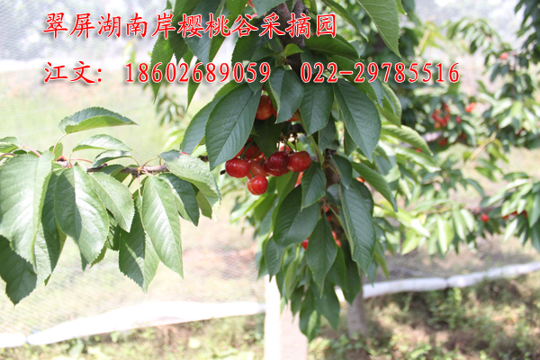 樱桃果实期
